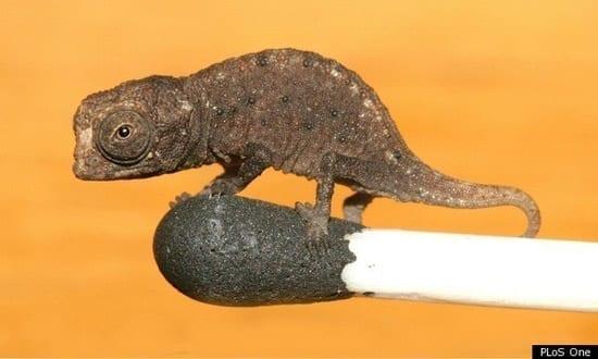 Cel mai mic cameleon din lume descoperit in Madagascar